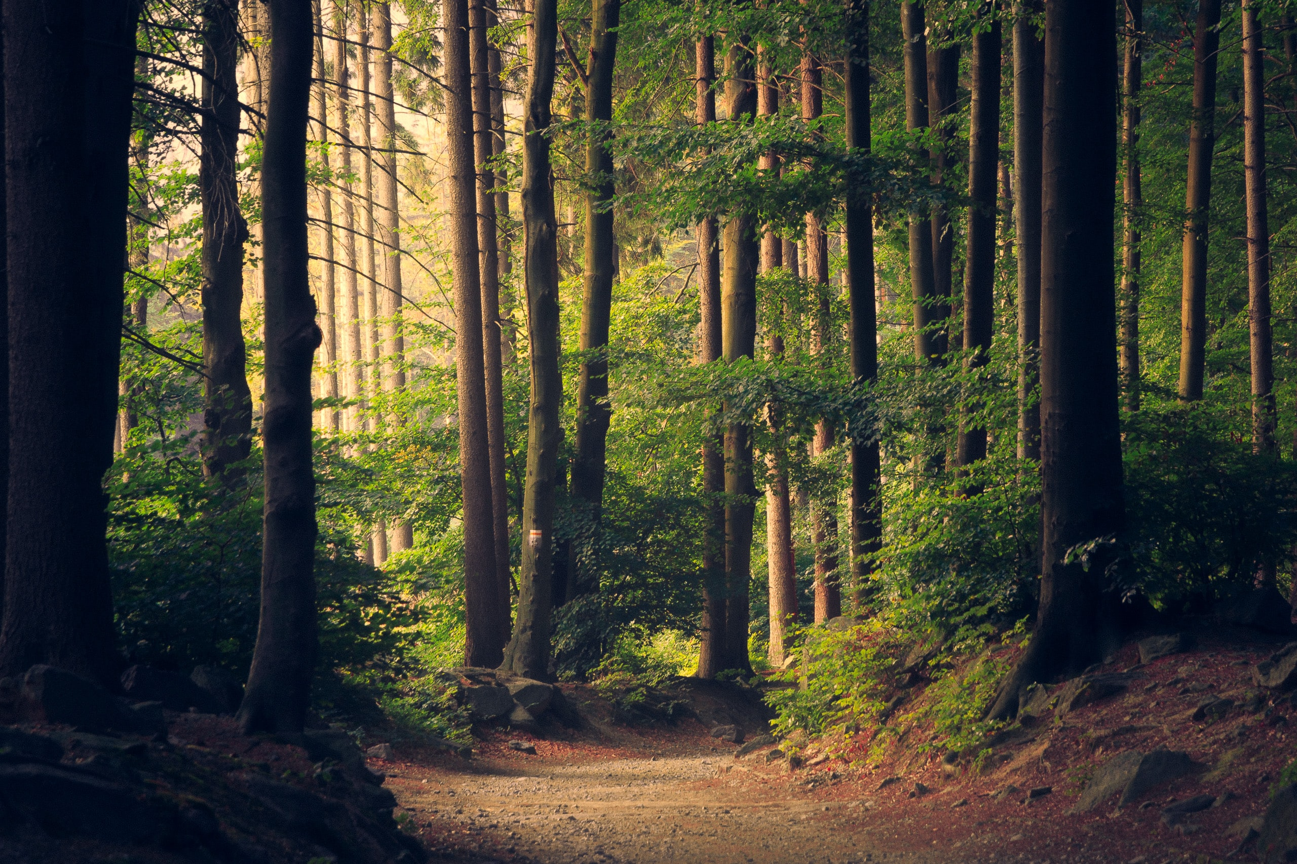 trees lining a forest path